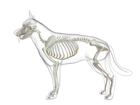 3d rendered medically accurate illustration of a dog skeleton Standard-Bild - 121702177