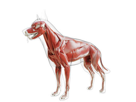 3d rendered medically accurate illustration of the dogs muscle system