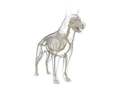 3d rendered medically accurate illustration of a dog skeleton Imagens