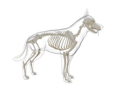 3d rendered medically accurate illustration of a dog skeleton Standard-Bild - 121702442