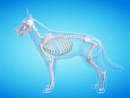 3d rendered medically accurate illustration of the dogs skeletal system