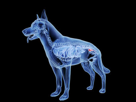 3d rendered medically accurate illustration of a dogs bladder Standard-Bild - 121703470