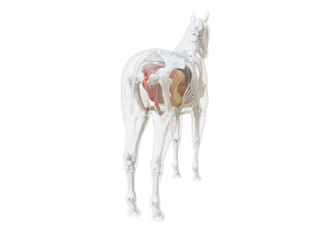 3d rendered medically accurate illustration of the horse anatomy Zdjęcie Seryjne - 121703926
