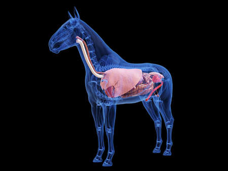 3d rendered medically accurate illustration of the horse anatomy Standard-Bild - 121703934