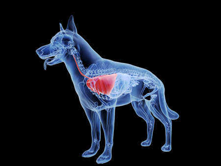 3d rendered medically accurate illustration of the dogs lung Standard-Bild - 121704907