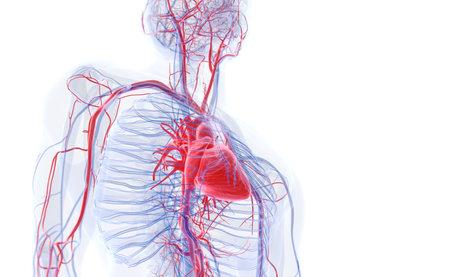 3D rendering illustrazione accurata dal punto di vista medico del cuore umano