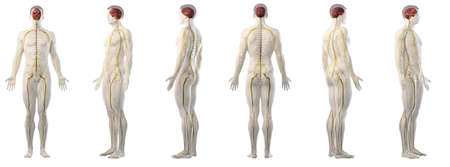 3d rendered medically accurate illustration of mans nervous system Stockfoto