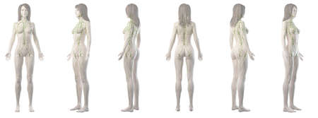 3d rendered medically accurate illustration of a womans lymphatic system Standard-Bild - 122504543