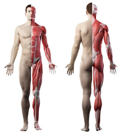 3D-gerenderte medizinisch genaue Darstellung der Vorder- und Rückseite des Muskelsystems eines Mannes
