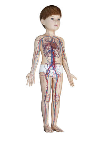 3d rendered medically accurate illustration of a childs vascular system Stock Photo