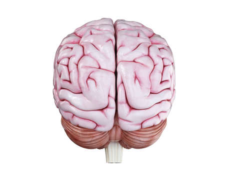 3d rendered medically accurate illustration of a human brain isolated on white Stock Photo