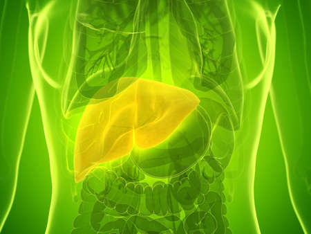 3d rendered medically accurate illustration of a womans liver Banco de Imagens