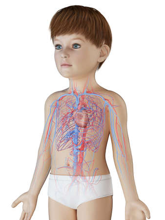 3d rendered medically accurate illustration of a boys vascular system Stock Photo