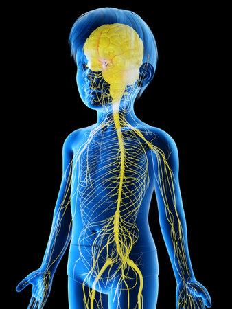 3D-gerenderte medizinisch genaue Abbildung eines Nervensystems eines Jungen Standard-Bild