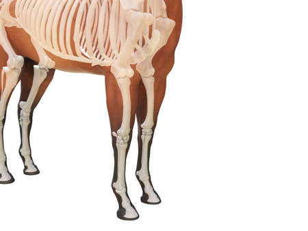 3d rendered medically accurate illustration of the horse anatomy - skeleton