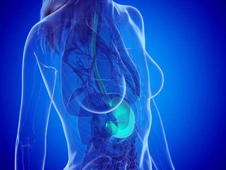 3d rendered medically accurate illustration of a womans stomach Zdjęcie Seryjne