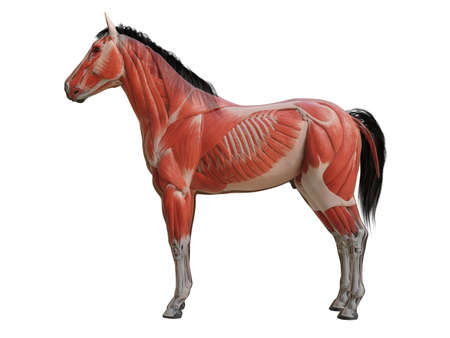 3d rendered medically accurate illustration of the horse anatomy - muscle system 스톡 콘텐츠