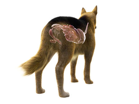 3d rendered medically accurate illustration of the organs of the dog Stockfoto
