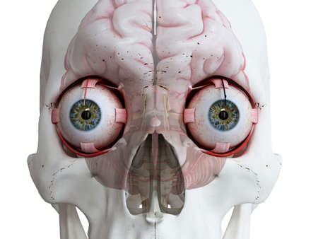 3d rendered medically accurate illustration of the human eyes and brain