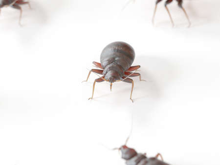 3d rendered medically accurate illustration of a bed bug on white background Archivio Fotografico