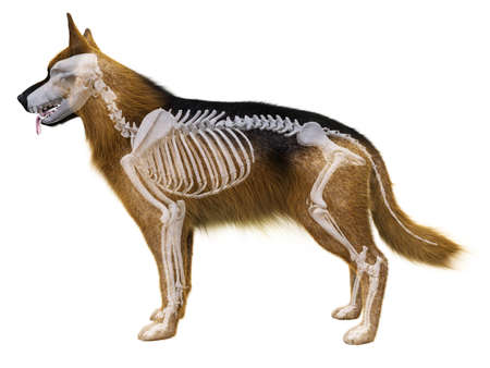 3d rindió la ilustración médicamente exacta del esqueleto de perro