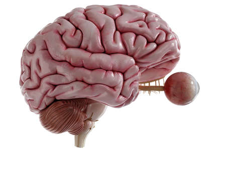 3d rendered medically accurate illustration of a human brain and eyes Stock Photo