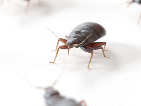 3d rendered medically accurate illustration of a bed bug on white background Stock Photo