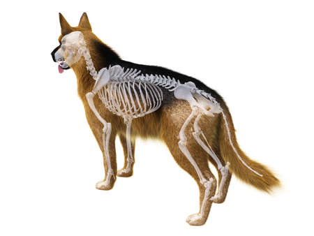 3d rendered medically accurate illustration of the dog skeleton