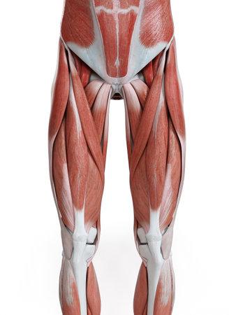 3D rendu médicalement précis illustration des muscles de la jambe