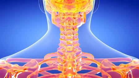 3d rendered illustration of the human, skeletal cervical spine