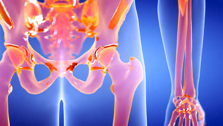3d rendered illustration of the human hip joint