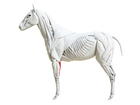 3d rendered medically accurate illustration of the equine muscle anatomy - flexor carpi ulnaris