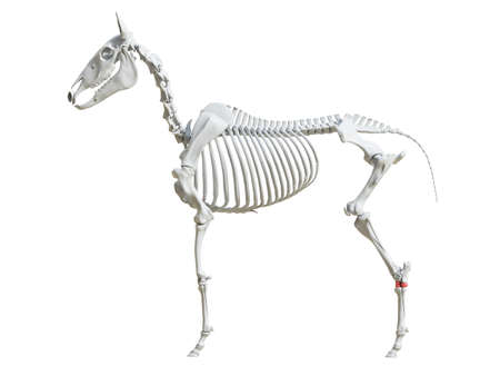 3d rendered medically accurate illustration of the equine skeleton - tarsal bones
