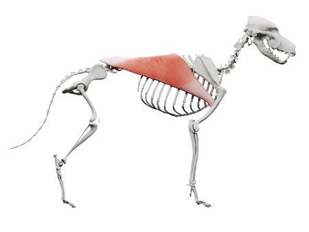 3d rendered illustration of the dog muscle anatomy - latissimus dorsi Stockfoto