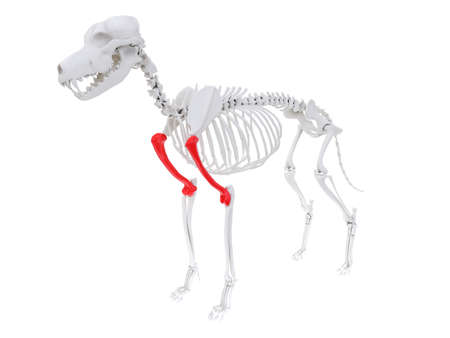 3d rendered anatomy illustration of the dog skeletal anatomy - humerus