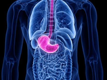 3d rendered medically accurate illustration of the stomach