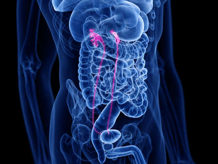3d rendered medically accurate illustration of the ureters Stock Photo