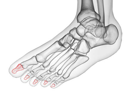 3d rendered medically accurate illustration of the distal phalanx bone Stock Photo
