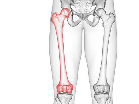 3d rendered medically accurate illustration of the femur Stock Illustration - 128124901