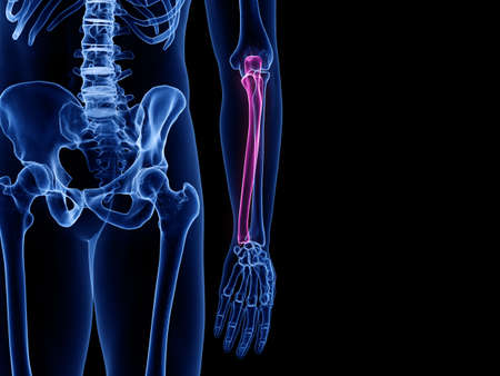 3d rendered medically accurate illustration of the ulna bone