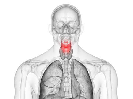 3d rendered medically accurate illustration of the human larynx Stock Photo