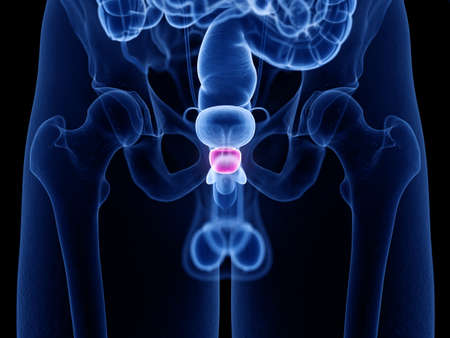 3d rendered medically accurate illustration of the prostate Stock Photo