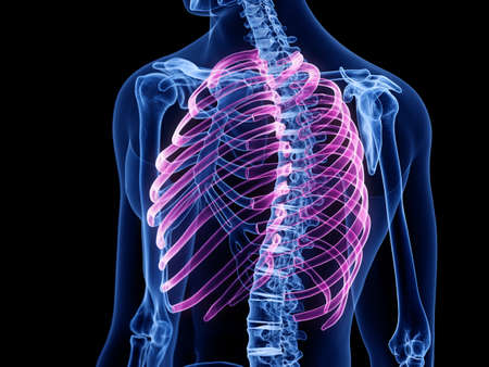 3d rendered medically accurate illustration of the ribs