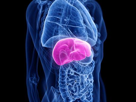 3d teruggegeven medisch nauwkeurige illustratie van de lever