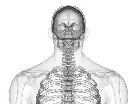 3d rendered medically accurate illustration of the skeletal upper body