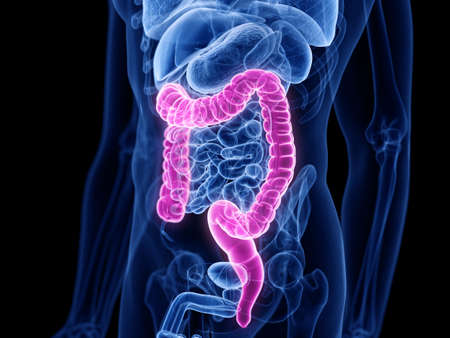 3d rendered medically accurate illustration of the large intestine