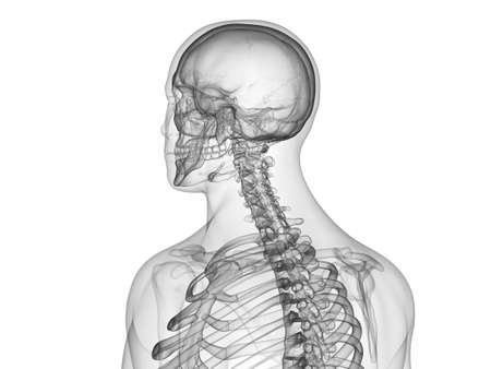3d rendered medically accurate illustration of the skeletal upper body Standard-Bild - 128664536