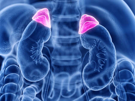 3d rendered medically accurate illustration of the adrenal gland