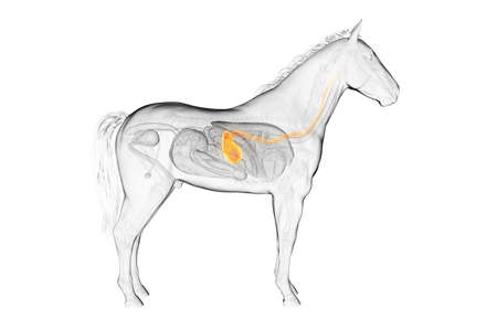 3d rendered medically accurate illustration of a horses stomach Stock Photo