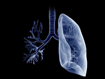 3d rendered medically accurate illustration of the lung and bronchi
